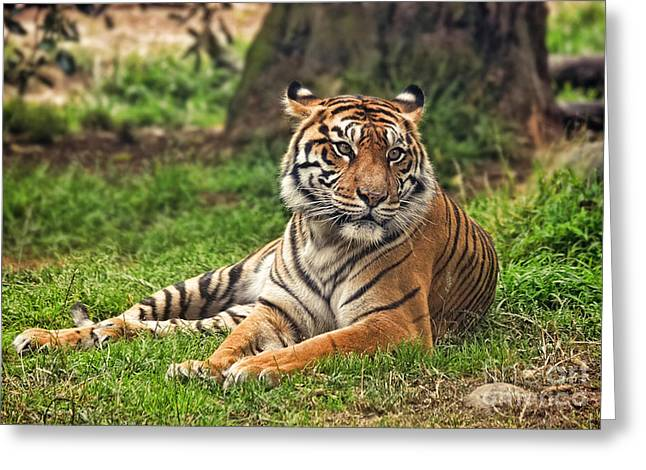 Gray Hair Greeting Cards - A Tiger Relaxing on a Cool Afternoon Greeting Card by Jim Fitzpatrick