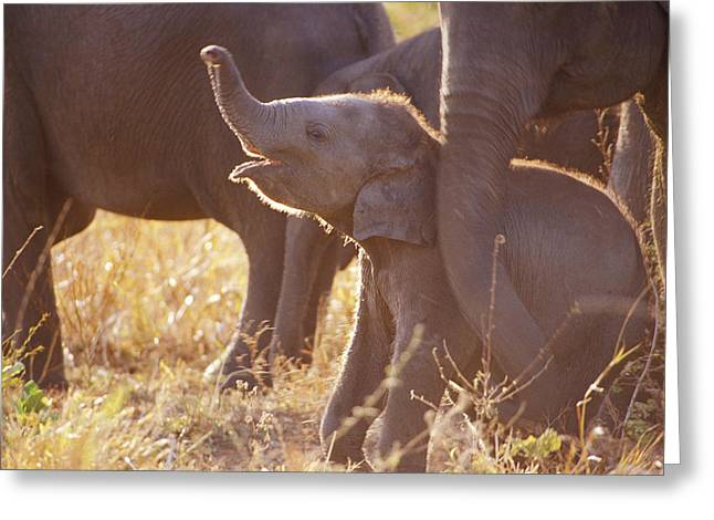 Bonding Greeting Cards - A Tiny Endangered Asian Elephant Calf Greeting Card by Jason Edwards