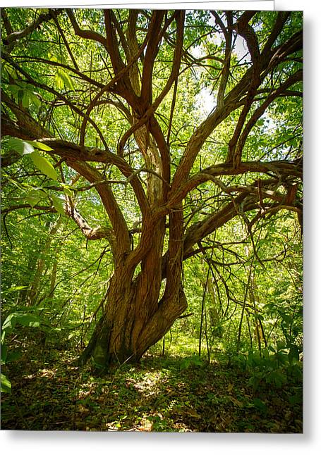 Hike Greeting Cards - A Tree In The Woods Greeting Card by Shane Holsclaw