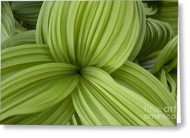 False Hellebore Greeting Cards - A Triangle of Leaves Greeting Card by Tim Grams
