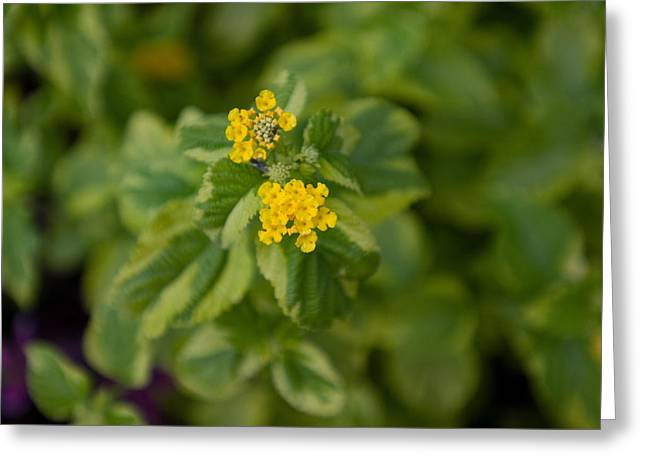 Samantha Greeting Cards - A Variegated Lantana Samantha Plant Greeting Card by Joel Sartore