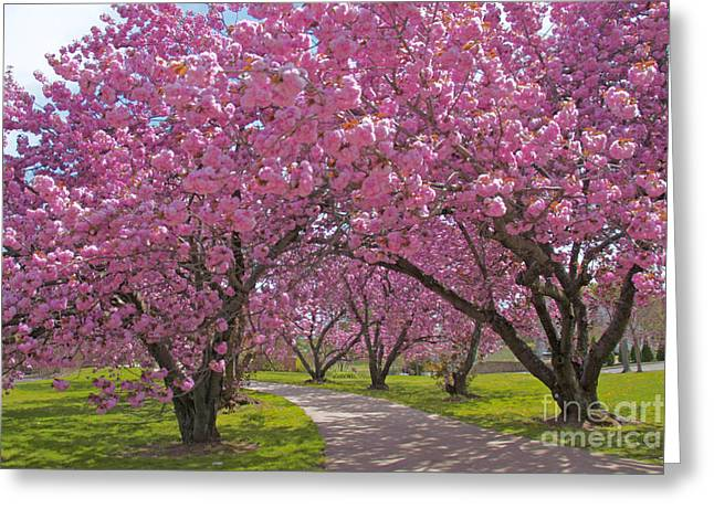 A Walk Down Cherry Blossom Lane Greeting Card by Cindy Lee Longhini