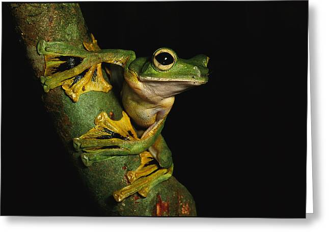 Recently Sold -  - Flying Frog Greeting Cards - A Wallaces Flying Frog Greeting Card by Tim Laman