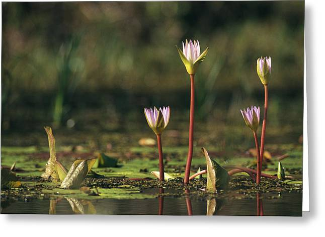 Aquatic Plant Greeting Cards - A Water Lily Flower Emerging Greeting Card by Klaus Nigge