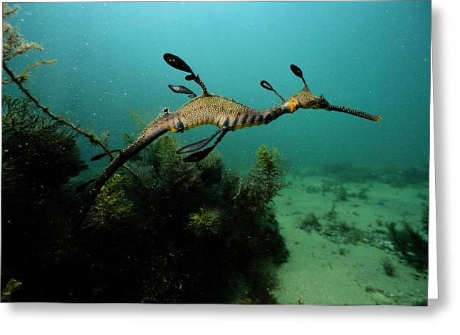 Weedy Greeting Cards - A Weedy Sea Dragon, Perhaps Greeting Card by George Grall
