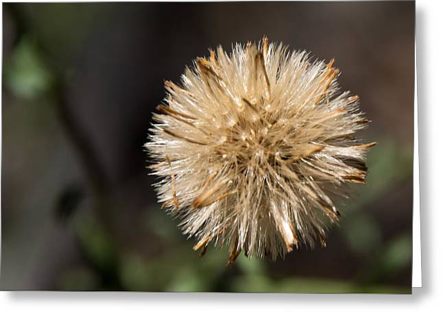Nature Study Greeting Cards - A Whisper on the Wind Greeting Card by Valerie Cozart