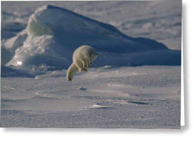 Winter Views Greeting Cards - A White Arctic Fox, Alopex Lagopus Greeting Card by Norbert Rosing