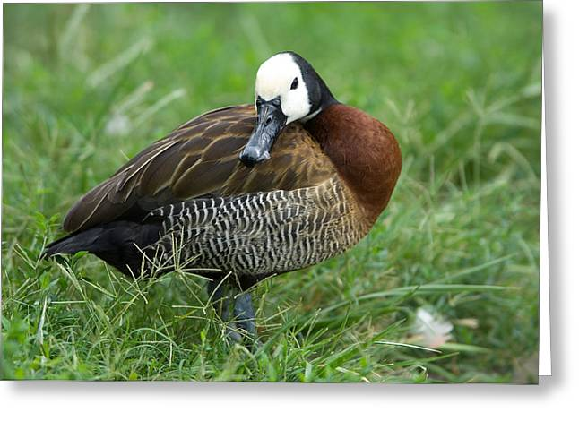 Sunset Zoo Greeting Cards - A White-faced Whistling Duck Greeting Card by Joel Sartore