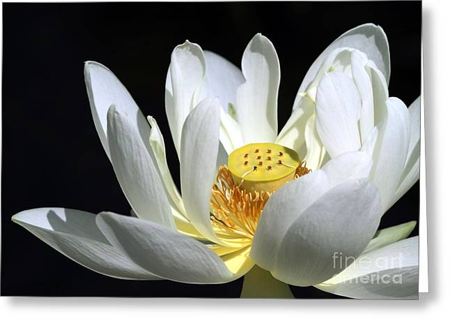 Lotus Seed Pod Greeting Cards - A White Lotus Greeting Card by Sabrina L Ryan