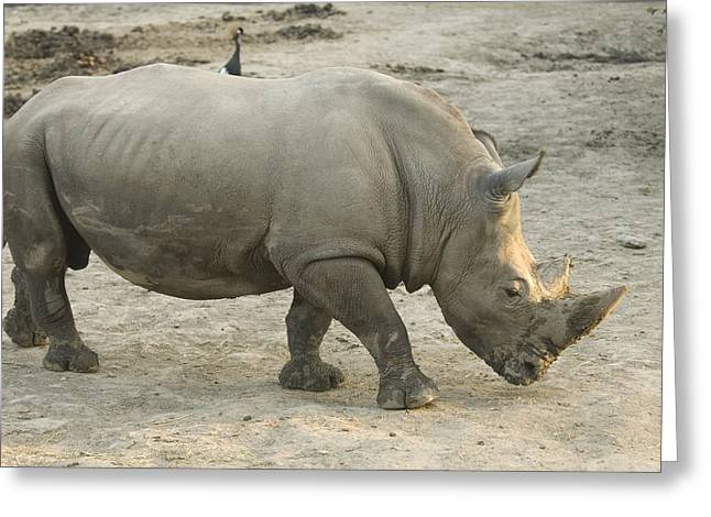 One Horned Rhino Greeting Cards - A White Rhino At The Omaha Zoo Greeting Card by Joel Sartore