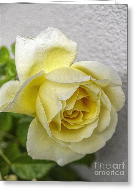 Modestly Greeting Cards - A white rose of pure love. Greeting Card by Madeline Moore