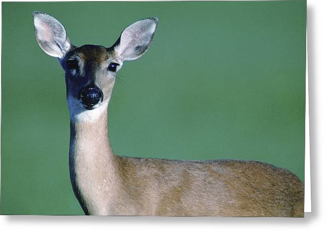 Wildlife Refuge. Greeting Cards - A White-tailed Deer On The Prairie Greeting Card by Joel Sartore