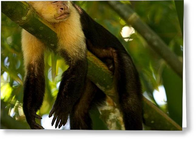 A White-throated Capuchin Monkey Greeting Card by Roy Toft