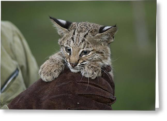 Female Bobcat Greeting Cards - A Wildlife Rescue Member Holds Greeting Card by Joel Sartore