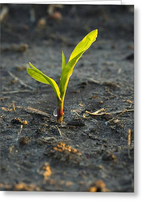 Emergence Greeting Cards - A Young Corn Plant Is Wet From A Recent Greeting Card by Scott Sinklier