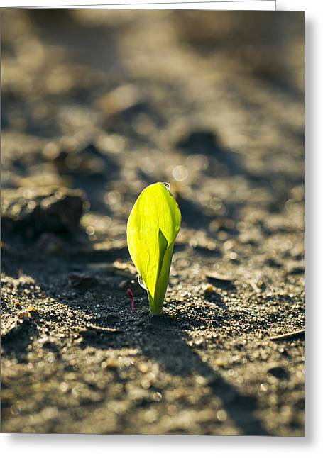 Emergence Greeting Cards - A Young Corn Seedling Emerges Greeting Card by Scott Sinklier