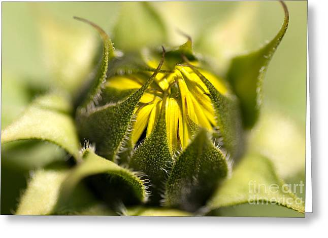 Emergence Photographs Greeting Cards - About to Burst Greeting Card by Venetta Archer