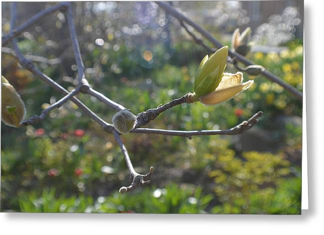 Abstract Digital Photographs Greeting Cards - Abstract Realism Magnolia Buds Greeting Card by Tina M Wenger
