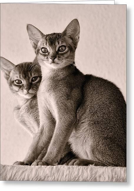 Abyssinian Kittens Greeting Card by Ari Salmela