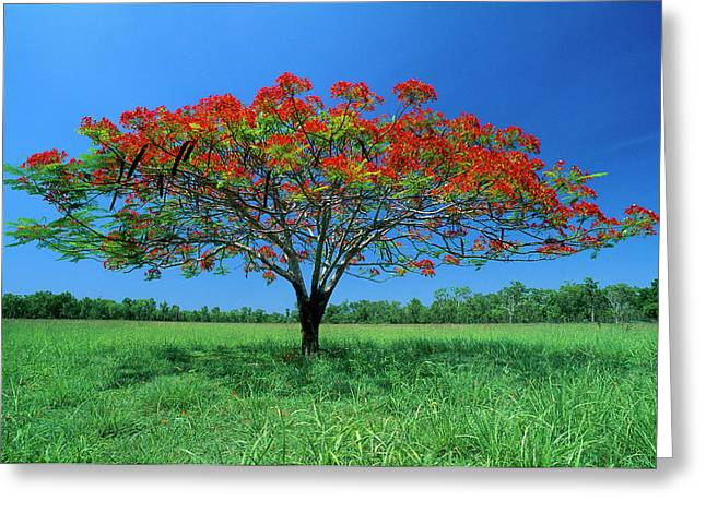 Thomas Marent Greeting Cards - Acacia Tree Flowering  Greeting Card by Thomas Marent