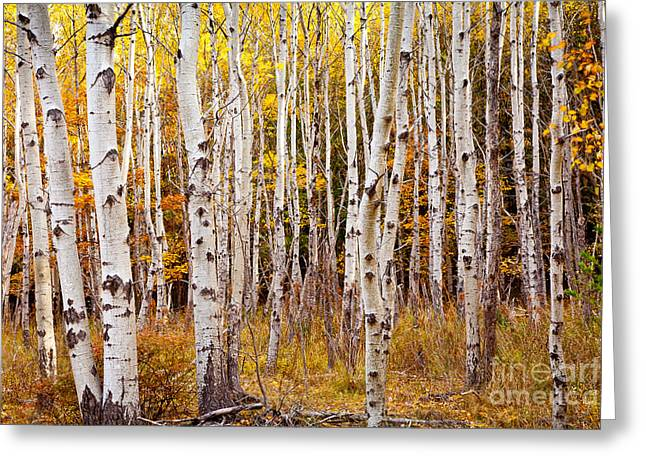 Wild And Scenic Greeting Cards - Acadia Birch Greeting Card by Susan Cole Kelly
