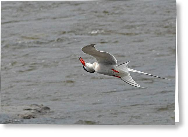Tern Greeting Cards - Acrobatics of the Common Tern Greeting Card by Asbed Iskedjian