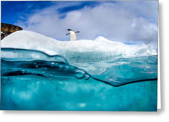 Iceberg Greeting Cards - Adelie Penguin On Iceberg Greeting Card by Justin Hofman