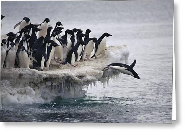 Adelie Penguin Pygoscelis Adeliae Greeting Card by Tui De Roy