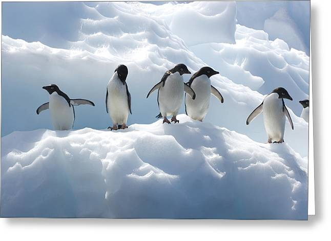 Groups Of Animals Greeting Cards - Adelie Penguins Lined Up On An Iceberg Greeting Card by Tom Murphy