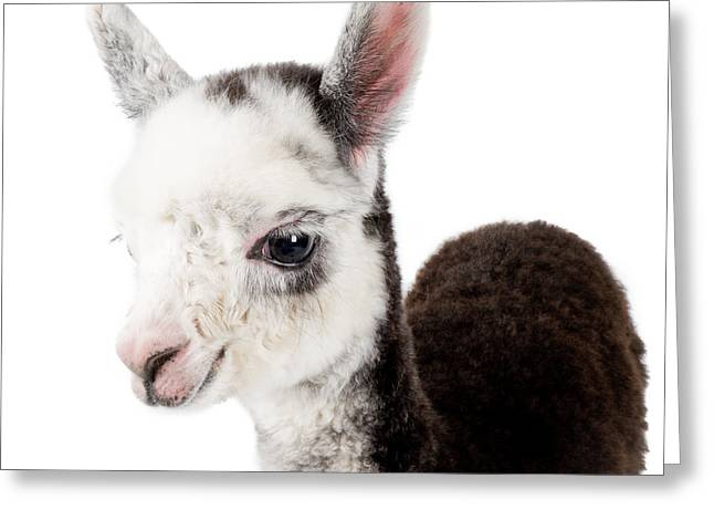 Alpacas Greeting Cards - Adorable Baby Alpaca Cuteness Greeting Card by TC Morgan