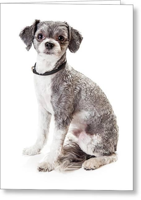 Cute Havanese Greeting Cards - Adorable Havanese Crossbreed Dog Sitting Greeting Card by Susan  Schmitz