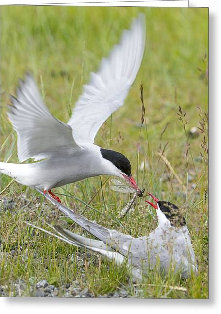 Tern Greeting Cards - Adult Arctic Tern Feeds Insect Greeting Card by Cathy Hart