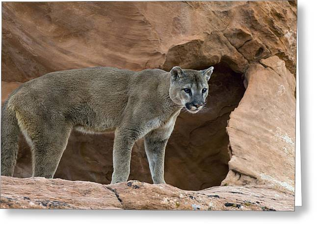 Adult Cougar Greeting Card by Melody Watson