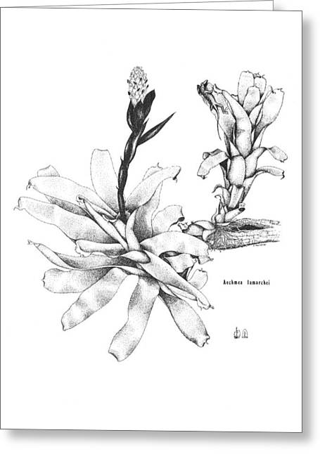 Bromeliad Drawings Greeting Cards - Aechmea lamarchei Greeting Card by Sue Sill