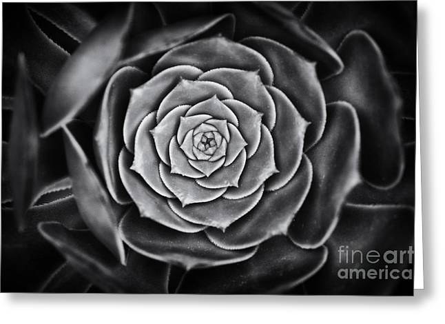 Rosette Greeting Cards - Aeonium Arboreum Greeting Card by Tim Gainey