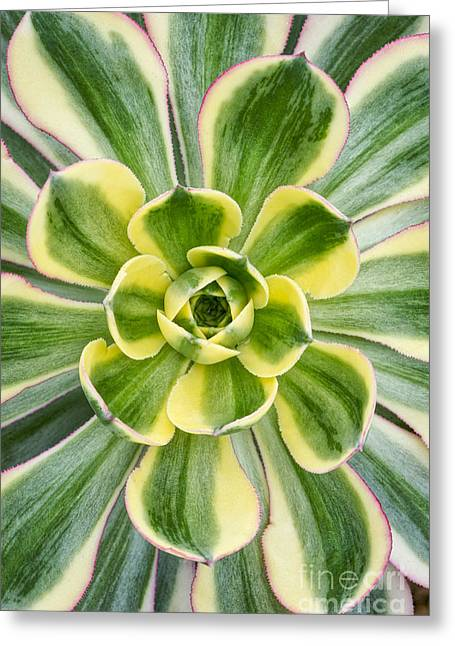 Aeonium Sunburst Greeting Card by Tim Gainey