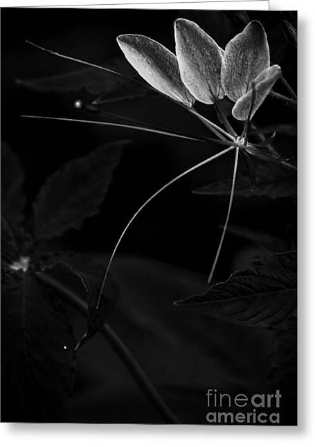 Organic Greeting Cards - Aflutter in Black and White Greeting Card by James Aiken