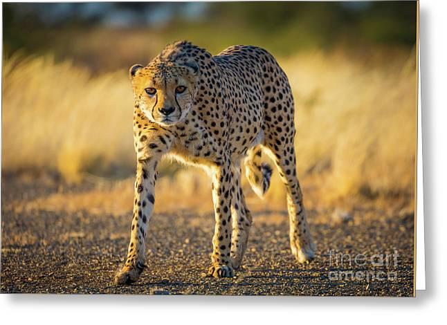 African Cheetah Greeting Card by Inge Johnsson