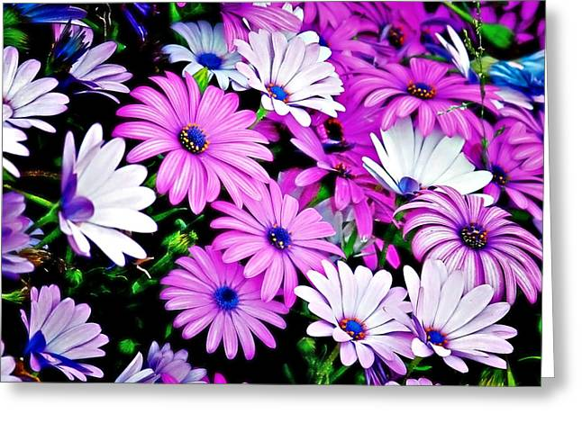 White Flower Greeting Cards - African Daisies - Arctotis stoechadifolia Greeting Card by Christine Till