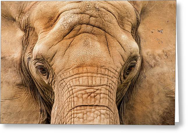 African Elephant Greeting Card by Don Johnson