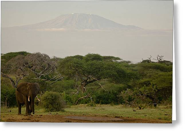 Mount Kilimanjaro National Park Greeting Cards - African Elephant In African Landscape Greeting Card by Beverly Joubert