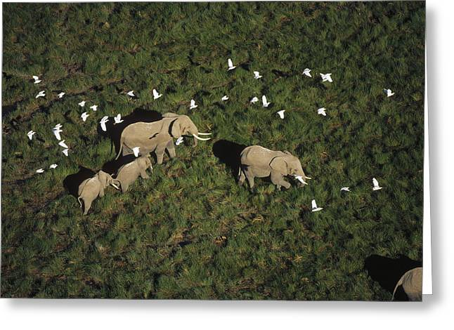 Bubulcus Ibis Greeting Cards - African Elephant Parents And Two Calves Greeting Card by Tim Fitzharris