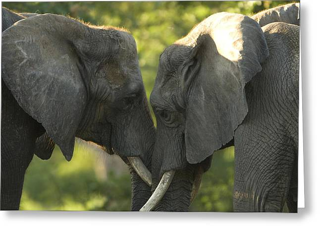 Tusk Greeting Cards - African Elephants Loxodonta Africana Greeting Card by Joel Sartore