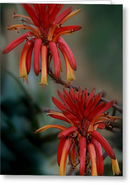 African Fire Lily Greeting Card by Joseph G Holland