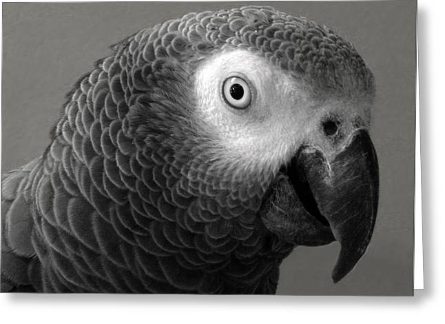 Sandi Oreilly Greeting Cards - African Gray Greeting Card by Sandi OReilly