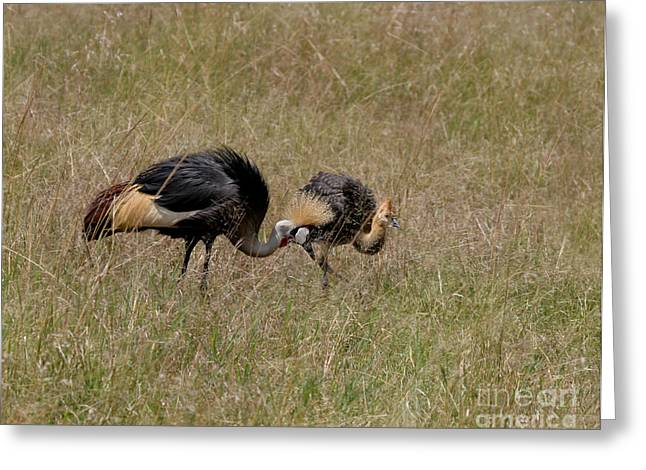 African Grey Crowned  Crane With Chick Greeting Card by Joseph G Holland