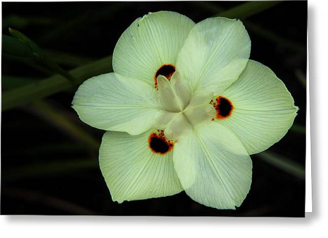 Decorate Greeting Cards - African Iris 2 Greeting Card by Judy Vincent