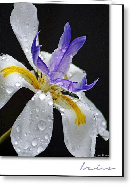 Holly Kempe Greeting Cards - African Iris Greeting Card by Holly Kempe
