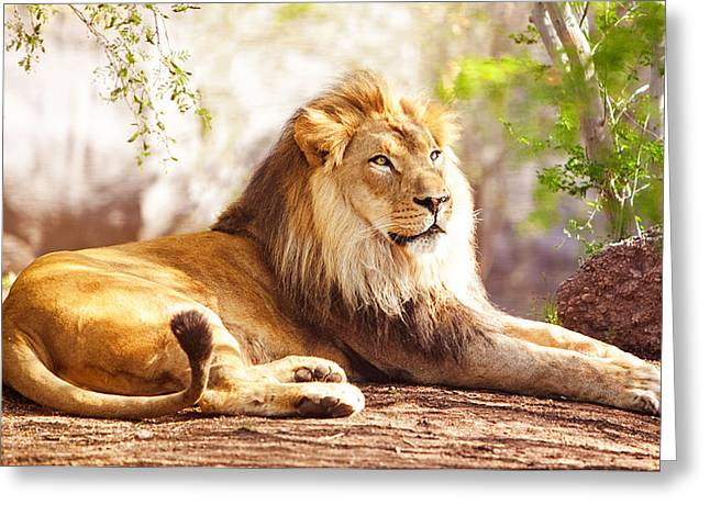 African Cats Greeting Cards - African Lion Laying in Forest Greeting Card by Susan  Schmitz