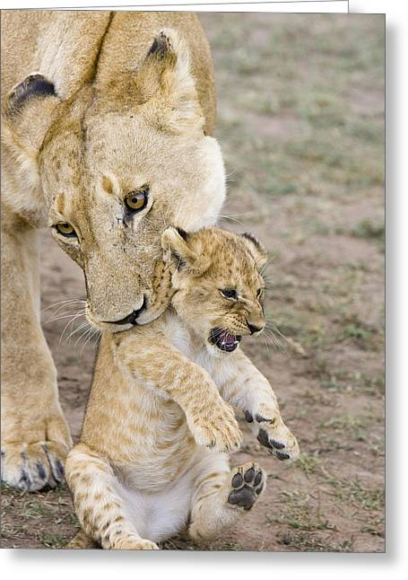 Threatened Species Greeting Cards - African Lion Mother Picking Up Cub Greeting Card by Suzi Eszterhas